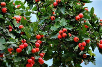 秋天的水果有哪些
