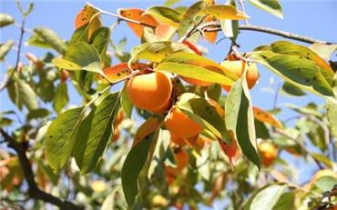 秋天成熟的水果