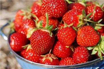 草莓是什么季节的水果