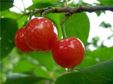 哪种水果含糖量更高