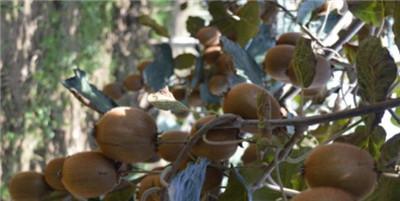 猕猴桃的功效与作用