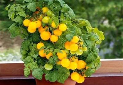 阳台盆栽蔬菜