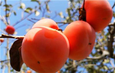 吃完柿子能喝酸奶吗