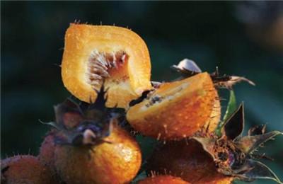 金色刺梨的功效和作用