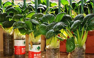 阳台水培蔬菜