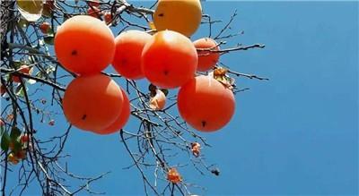 吃柿子的禁忌