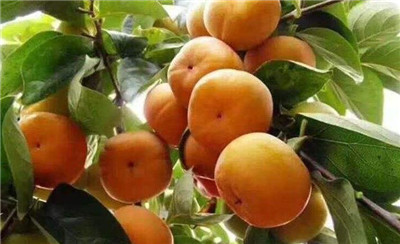 柿子的营养价值及功效与作用
