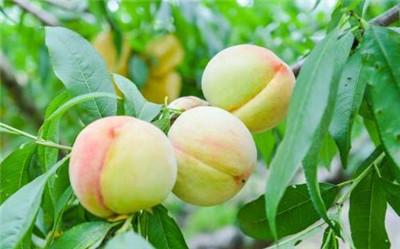 南汇水蜜桃