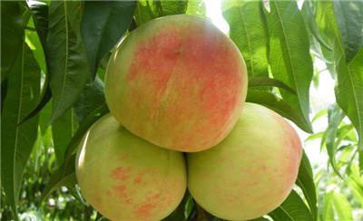 无锡水蜜桃